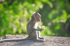 tailed lång macaque Arkivfoton