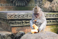 Tailed Macaque för apa länge Fotografering för Bildbyråer