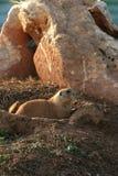tailed prärie för svart hund Arkivbilder