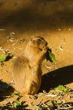 tailed prärie för svart hund royaltyfri fotografi