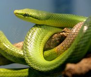 tailed röd orm för 2 racer Royaltyfri Foto