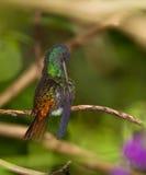 tailed rengörande guld- safir för plumage s arkivbilder