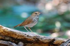 tailed rufous för robin Arkivfoto