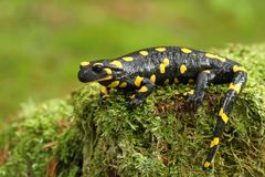 Tailed Salamander Stock Photography