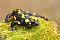 Tailed salamander stock photography