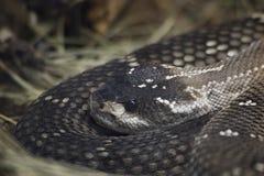 Tailed skallerorm för mexikan svart Arkivbilder