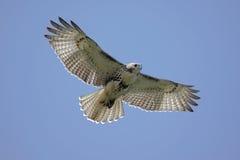 tailed soaring för hökred Royaltyfria Foton