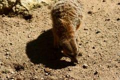 tailed spensligt för meercat Arkivfoton