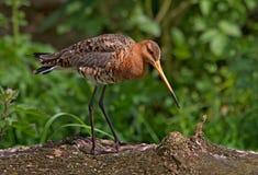 tailed svart godwit Arkivbilder