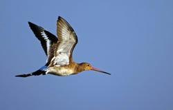 tailed svart godwit Royaltyfri Foto