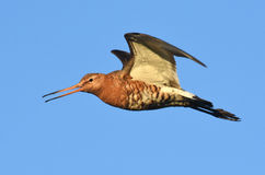 tailed svart godwit Arkivfoto