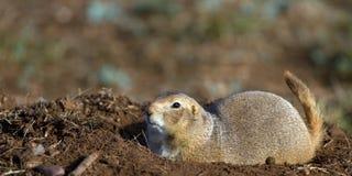 tailed svart prärie för cynomyshundludovicianus fotografering för bildbyråer