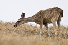 tailed svarta hjortar Royaltyfri Bild