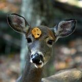tailed virginianuswhite för hjortar odocoileus fotografering för bildbyråer