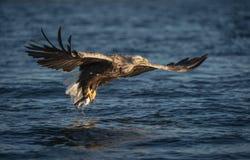 tailed white för örn flyg royaltyfri fotografi
