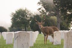 tailed white för bock hjortar Royaltyfri Foto