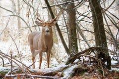 tailed white för bock hjortar Royaltyfria Foton