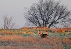 tailed white för bock hjortar Fotografering för Bildbyråer