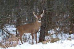 tailed white för bock hjortar Arkivfoto