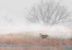 tailed white för bock hjortar Arkivfoton
