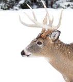 tailed white för bock hjortar arkivbild