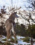 tailed white för bock hjortar royaltyfri fotografi