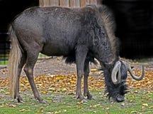 tailed white för connochaetesgnougnu latinskt namn Fotografering för Bildbyråer