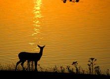 tailed white för hjortar solnedgång Arkivbilder