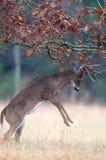 tailed white för uppförandebockhjortar brunst royaltyfri foto