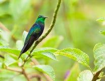 tailed woodnymph för gaffel hummingbird Arkivfoton