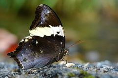 Tailed Yellow Owl butterfly. Of Thailand background Stock Photo