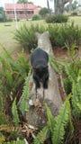 Tailess katt Arkivbilder