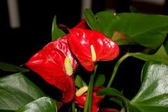 Tailflower, λουλούδι φλαμίγκο, Anthurium andraeanum, δημοφιλείς εγκαταστάσεις σπιτιών Στοκ Εικόνες
