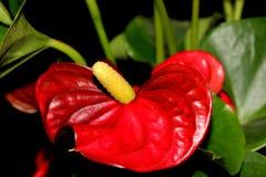 Tailflower, λουλούδι φλαμίγκο, Anthurium andraeanum, δημοφιλείς εγκαταστάσεις σπιτιών Στοκ φωτογραφίες με δικαίωμα ελεύθερης χρήσης