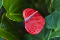 Tailflower fotografia stock libera da diritti