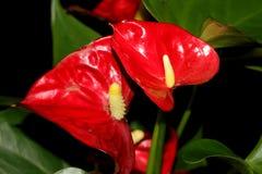 Tailflower, flor de flamenco, andraeanum del Anthurium, planta popular de la casa Imagen de archivo