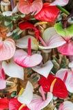Tailflower rosso dei flowes dell'anturio, fiore di fenicottero, laceleaf come sfondo naturale fotografia stock libera da diritti