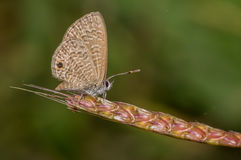 Tailless line blue butterfly Royalty Free Stock Image