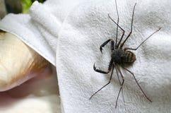 Tailless piska skorpionen på en vit handduk i utomhus- dusch i trop Arkivfoto