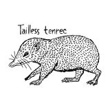 Tailless tenrec - vector illustration sketch hand drawn with bla Royalty Free Stock Photography