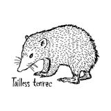 Tailless tenrec - vector illustration sketch hand drawn with bla Stock Photo