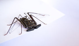 Tailless whip scorpion Stock Photography