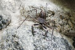 Tailless whip scorpion on the rock Stock Photos