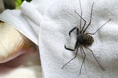 Tailless whip scorpion on a white towel in outdoor shower in trop Stock Photo