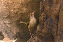 Tailor Bird, Orthotomus sutorius, Tipeshwar Wildlife Sanctuary, Maharashtra. India royalty free stock photo
