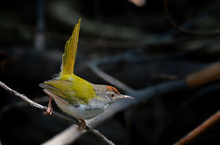 Tailorbird étranglé foncé image libre de droits
