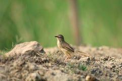 Tailorbird photographie stock