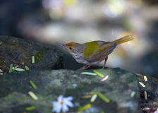 Tailorbird. Common tailor bird hopping around house stock photography