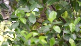 Tailorbird comum do pássaro na árvore na natureza selvagem video estoque