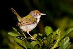 Tailorbird comune Fotografie Stock Libere da Diritti